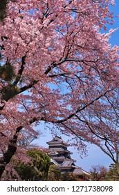 Cherry blossoms at Matsumoto Castle , Japan