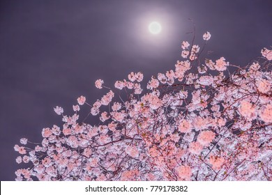 Cherry blossoms and moon at night
