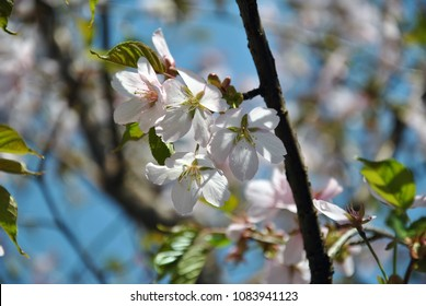 cherry blossoms in the Moscow arboretum
