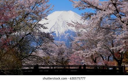 "Cherry blossoms and Mt. Fuji Seen from River Bridge""Shinnasyougawa"" Oshino village"