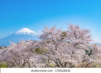 Cherry blossoms and Mt.Fuji at Iwamotoyama Park in Fuji City, Shizuoka Prefecture