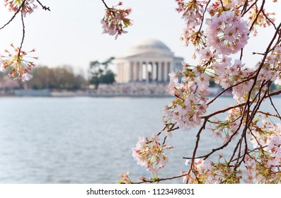 Cherry blossoms are nearing peak bloom at the Tidal Basin in DC
