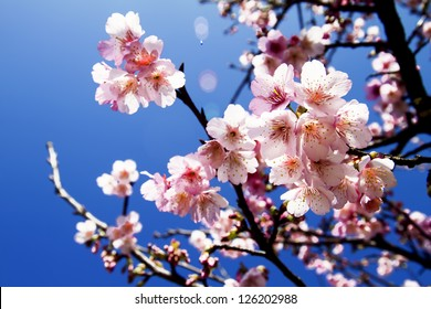Cherry blossoms with nice background color for adv or others purpose use