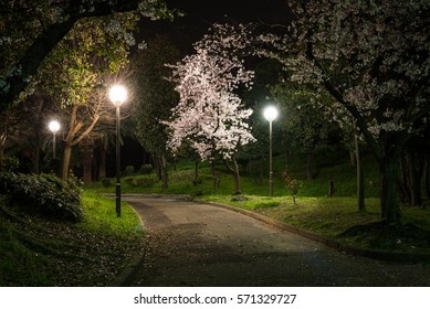 Cherry blossoms at night.