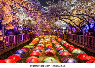 Cherry blossoms at night in Busan, South Korea.