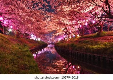 Cherry blossoms at night at the Ebigawa river in Funabashi, Chiba, Japan.