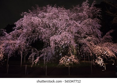 Cherry blossoms at night in the famous garden in Tokyo Japan. Illuminated blossoms