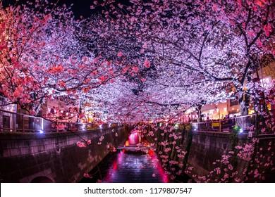 cherry blossoms at night Nakameguro Meguro River