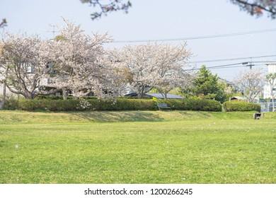 Cherry blossoms of Nishimineda Green area