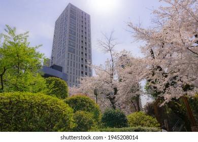 Cherry blossoms at Nogi Shrine in Akasaka, Minato-ku, Tokyo - Shutterstock ID 1945208014