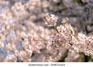 Cherry blossoms at Nogi Shrine in Akasaka, Minato-ku, Tokyo - Shutterstock ID 1948713154