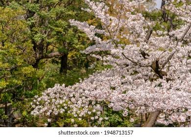 Cherry blossoms at Nogi Shrine in Akasaka, Minato-ku, Tokyo - Shutterstock ID 1948713157