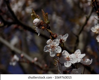 Cherry Blossoms on Bare Branches.