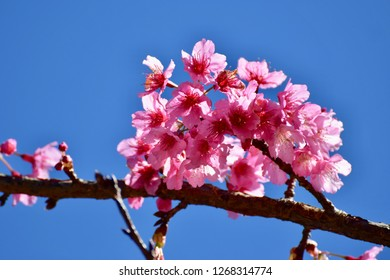 Cherry blossoms on blue background.