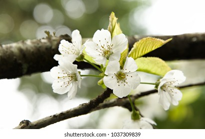 Cherry blossoms on a branch. A beautiful macro of cherry blossoms in the spring.