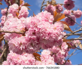 Cherry blossoms on branch. Large bunches of lush pink flower petals against blue sky. Spring sunshine