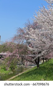 Cherry blossoms on riverbed