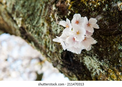 Cherry blossoms on tree branch