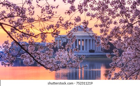 Cherry blossoms on trees around the Tidal Basin framing a distant view of the Jefferson Memorial in Washington, DC.