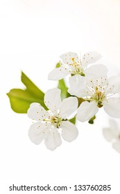 Cherry blossoms on white background