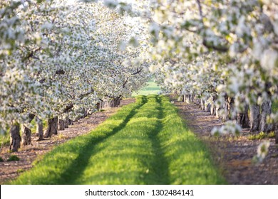 Cherry blossoms in an orchard in northern Michigan near Traverse City