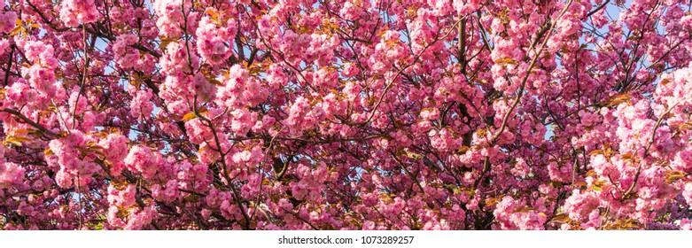 Cherry blossoms panorama