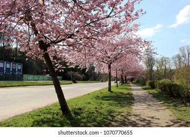cherry blossoms in park in prague