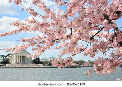 Cherry blossoms are in peak bloom with the Jefferson memorial in the background
