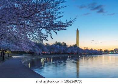 Cherry Blossoms at Peak Bloom in Washington, DC