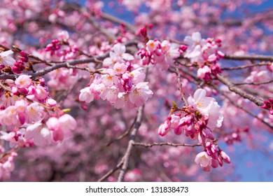 Cherry blossoms in pink color