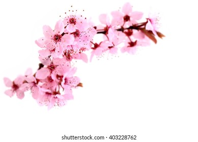 Cherry blossoms, pink spring flowers.