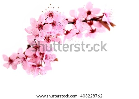 Cherry blossoms pink spring flowers stock photo edit now 403228762 cherry blossoms pink spring flowers mightylinksfo
