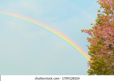 Cherry blossoms and rainbow after the rain