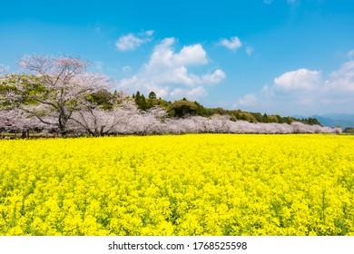 Cherry blossoms and rape field, Saitobaru Burial Mounds in Miyazaki Prefecture Japan