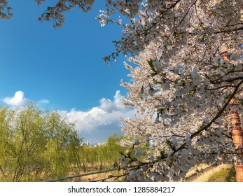 Cherry blossoms at the riverbank