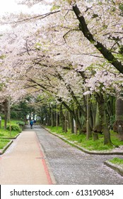 Cherry Blossoms road in the park.