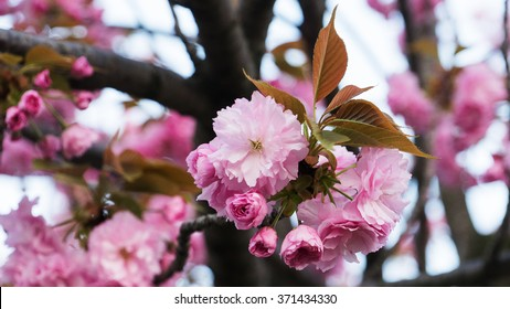 Cherry blossoms or Sakura