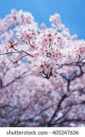 Cherry blossoms or Sakura with blue  sky