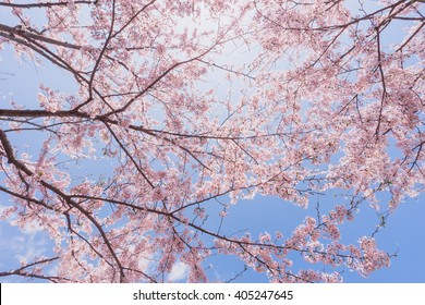 Cherry blossoms or Sakura with blue  sky and sunlight