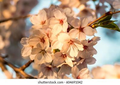 Cherry Blossoms or Sakura flowers in full bloom in spring/ Spring flowers