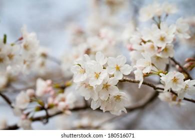 Cherry blossoms or Sakura in Japan