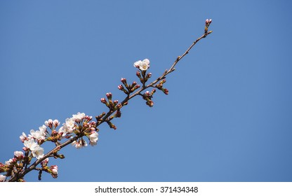 Cherry blossoms or Sakura (White)