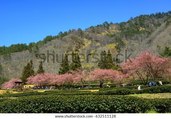 Cherry Blossoms (Sakura) at Wuling Farm, Taichung, Taiwan.