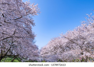Cherry blossoms in Satte City, Saitama Prefecture