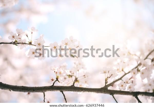 Cherry blossoms season,sakura flowers in Japan