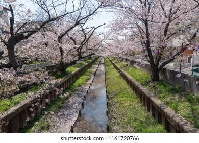 Cherry blossoms in Shibukawa, Motosumiyoshi, Kawasaki-shi, Kanagawa, Japan