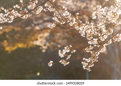 Cherry blossoms shining in the morning sun