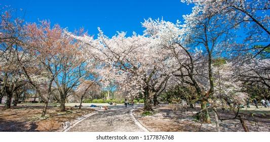 Cherry blossoms in the Shinjuku Gyoen National Gardens in Tokyo, Japan.
