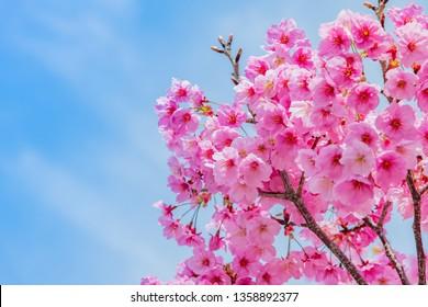 Cherry blossoms in Shin-Yokohama Park