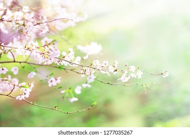 Cherry blossoms with soft spring pastel green background